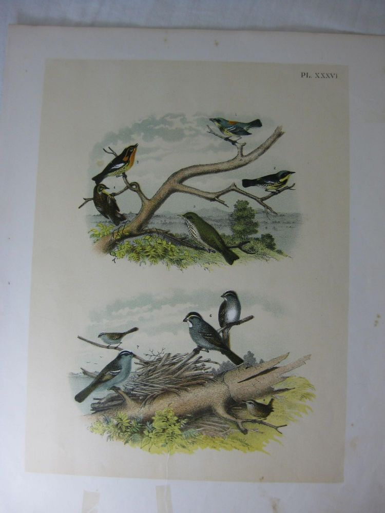 Studer's Popular Ornithology, The Birds Of North America, Plate XXXVI The Blue Yellow-Backed Warbler, Black And Yellow Warbler, Blackburnian Warbler, Hermit Thrush, White-Throated Sparrow, White-Crowned Sparrow, Winter Wren. Jacob H. Studer, Theodore Jasper.